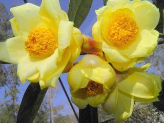 Yellow Camellias