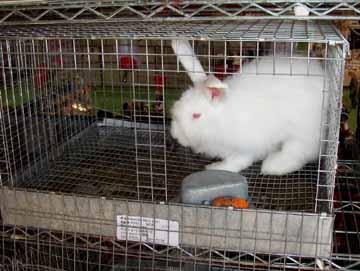 Saff_bunny