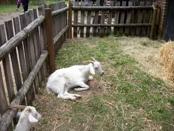 Cashmere_goats