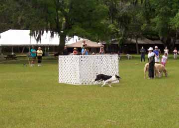 Sheep_dog_herding_1